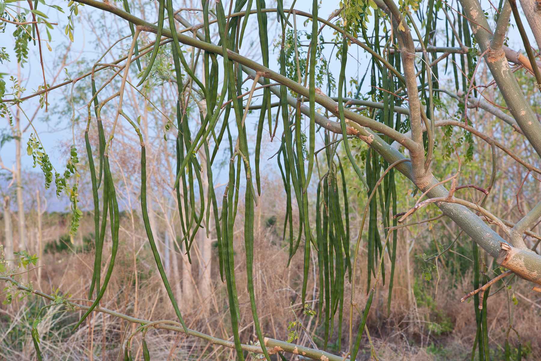 The Facts about Moringa